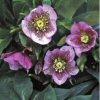 Helleborus Pink Spotted Lady