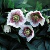 Helleborus White Spotted Lady
