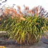 Miscanthus Early Hybrids