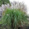 Miscanthus Grosse Fontaine
